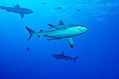 Whitetip reef sharks over a reef
