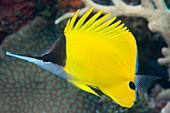 Longnose butterflyfish on a reef