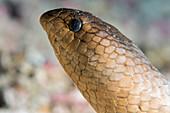 Olive sea snake head