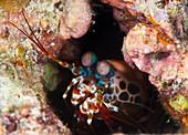 Mantis shrimp on a reef