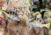 Wire-net filefish mating display