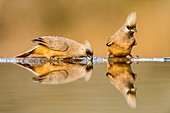 Speckled Mousebirds drinking