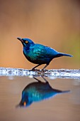 Cape Glossy Starling drinking