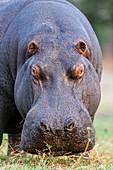 Hippo bull portrait