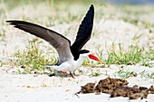 African Skimmer raises its wings