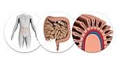 Human intestines,illustration
