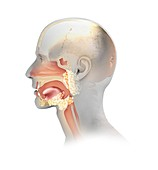 Upper respiratory tract,illustration