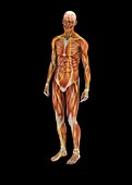 Human muscles and nerves,illustration