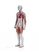 Cardiopulmonary system,illustration