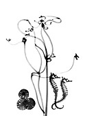 Plant tendrils and seahorses,X-ray
