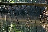 Red mangrove (Rhizophora mangle) roots