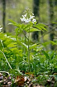 Cardamine heptaphylla in flower in a wood