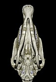 Underside of a horse's skull,3D CT scan