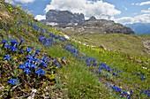 Spring gentian (Gentiana verna) in flower
