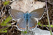 Female adonis blue butterfly
