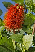 Natal bottlebrush (Greyia sutherlandii)