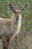 Young male waterbuck