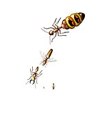 Ant castes,illustration