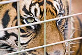 A Sumatran Tiger in Dalton Zoo