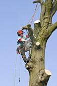A tree surgeon chopping a tree down