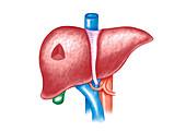 The Liver,illustration