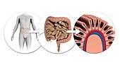 Human intestines,computer illustration