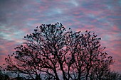 Rooks and Jackdaws at sunset