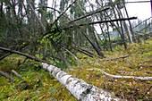 Drunken Forest in Fairbanks Alaska