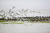 Oystercatchers roosting at high tide