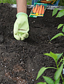 Planting carrot seeds