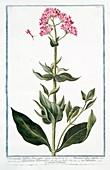 Valerianoides latifolia,18th century