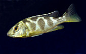 Juvenile Livingston's cichlid