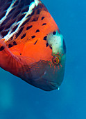 Red-breasted wrasse