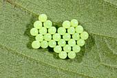 Green shield bug eggs
