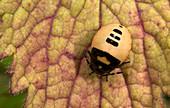 Pied shield bug larva