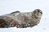 Weddell seals (Leptonychotes weddellii)