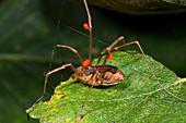 Harvestman with mites