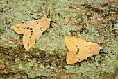 Buff ermine moths