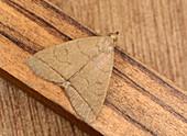 Small fan-foot moth