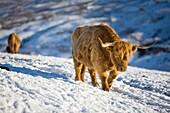 Highland cattle on Kirkstone Pass