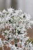 Needle ice on Holly leaves