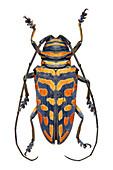 African longhorn beetle