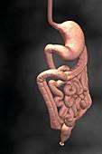 Gastrointestinal system,illustration