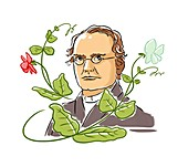 Gregor Mendel,Austrian botanist