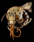 Head of a blue banded bee