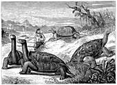Giant Land Tortoises,Galapagos Islands