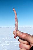 Ringed seal penis bone
