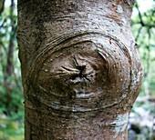 Holly tree branch scar