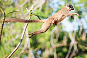 Common brown lemur and baby