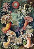 Actiniae sea anemones,1904